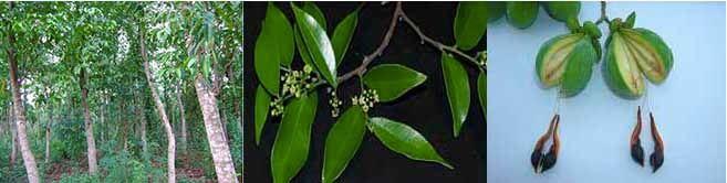 Cây, Lá, quả của cây Trầm Hương ( Cây Dó).